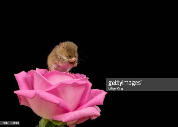 harvest mouse on a pink rose - cute mouse stock pictures, royalty-free photos & images