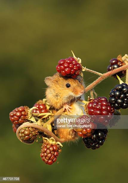 harvest mouse on berries - harvest mouse stock pictures, royalty-free photos & images