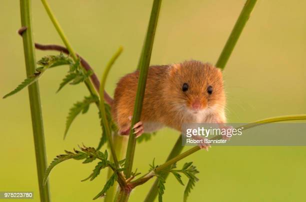 harvest mouse on cow parsley - harvest mouse stock pictures, royalty-free photos & images