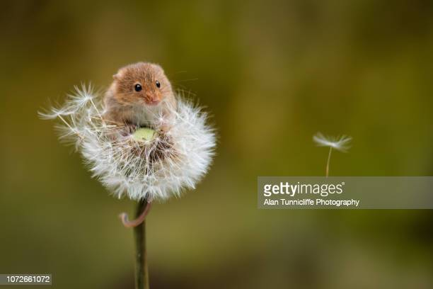 harvest mouse on dandelion clock - harvest mouse stock pictures, royalty-free photos & images
