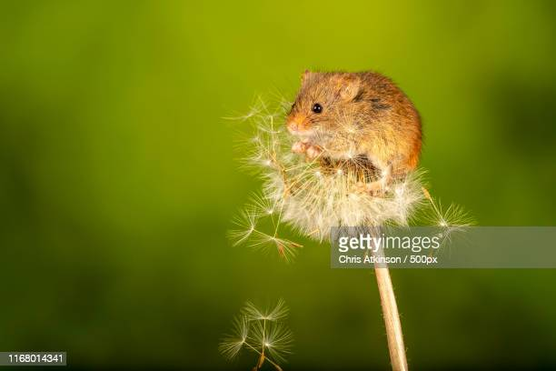 harvest mouse on dandelion - harvest mouse stock pictures, royalty-free photos & images