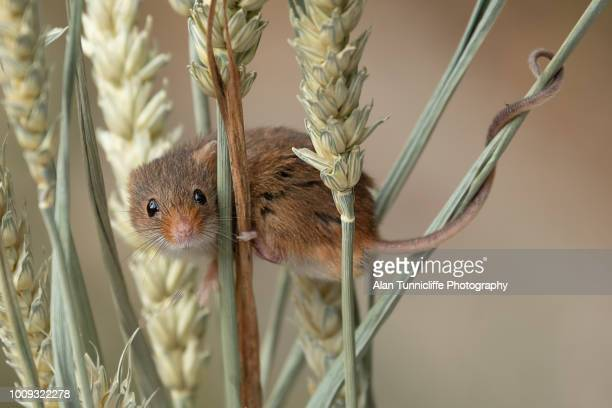 harvest mouse on ears of corn - field mouse - fotografias e filmes do acervo