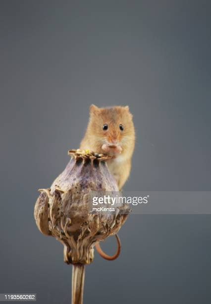 harvest mouse on flower with copy space - harvest mouse stock pictures, royalty-free photos & images