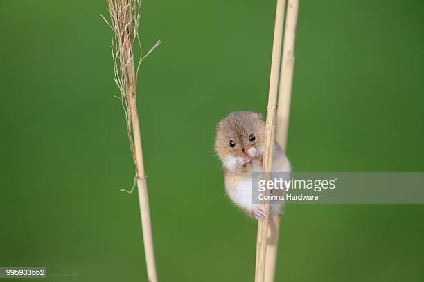 harvest mouse on reeds - harvest mouse stock pictures, royalty-free photos & images