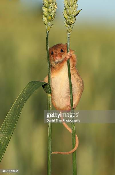 harvest mouse on wheat ear - harvest mouse stock pictures, royalty-free photos & images