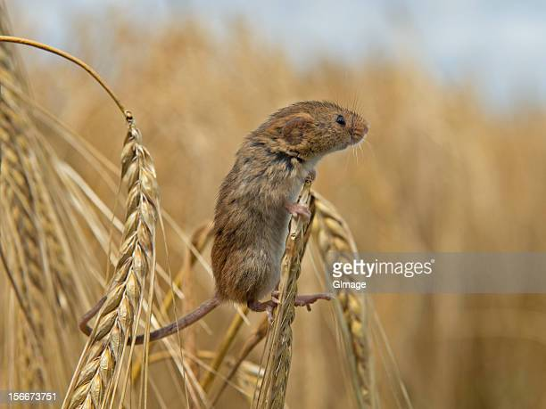 harvest mouse - field mouse - fotografias e filmes do acervo