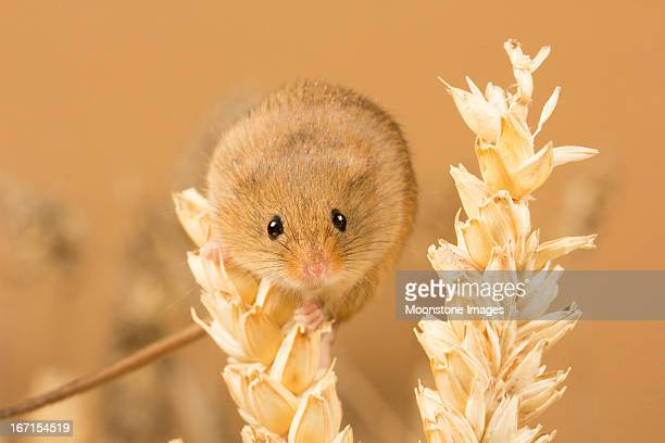 harvest mouse - harvest mouse stock pictures, royalty-free photos & images