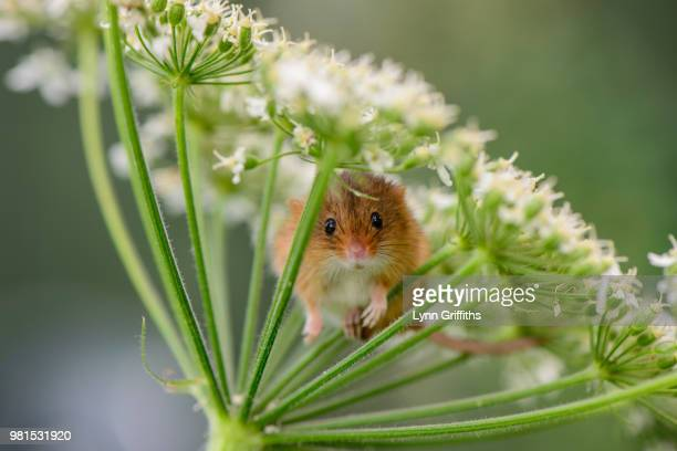 harvest mouse trying to hide - field mouse - fotografias e filmes do acervo