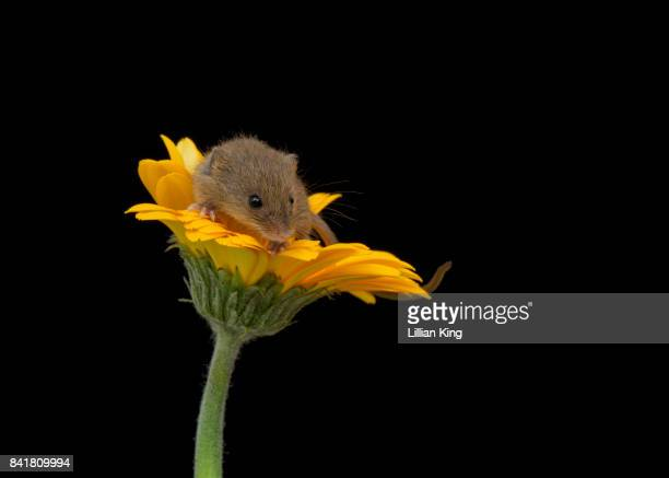 harvest mouse with black background - harvest mouse stock pictures, royalty-free photos & images