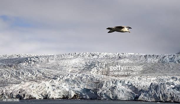 Harvest Northern Fulmar flies near the Nordenskjoldbreen glacier in the Spitbergen province of the Svalbard archipelago, in the Arctic Ocean on July...