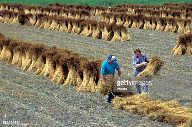Harvest of flax agricultural labourers working with bundles