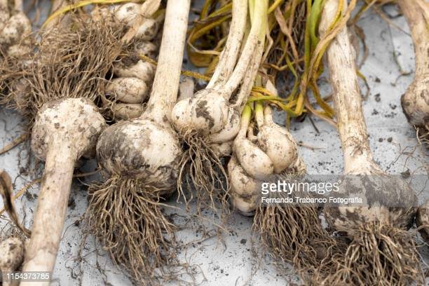 harvest of garlic - health food shop stock pictures, royalty-free photos & images