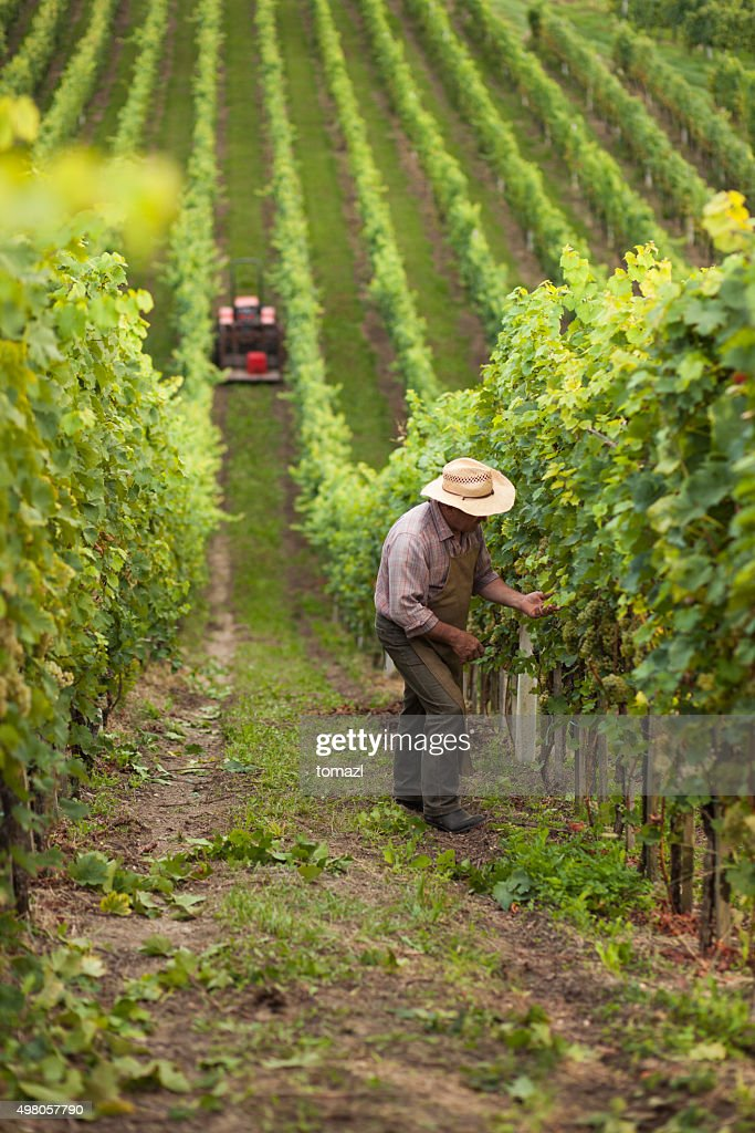 Harvest of grapes : Stock Photo