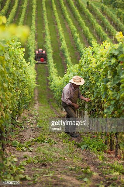 Colheita de uvas