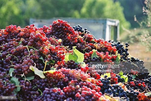 harvest of grapes - collioure photos et images de collection