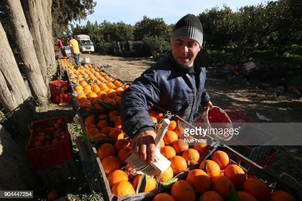 Harvest of oranges at Boufarik in Algeria on January 13 2018 Boufarik in the plain of Mitidja is the city of Oranges quotbecause of the many...