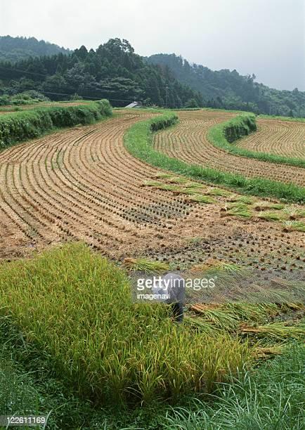 harvest of rice - 三重県 ストックフォトと画像