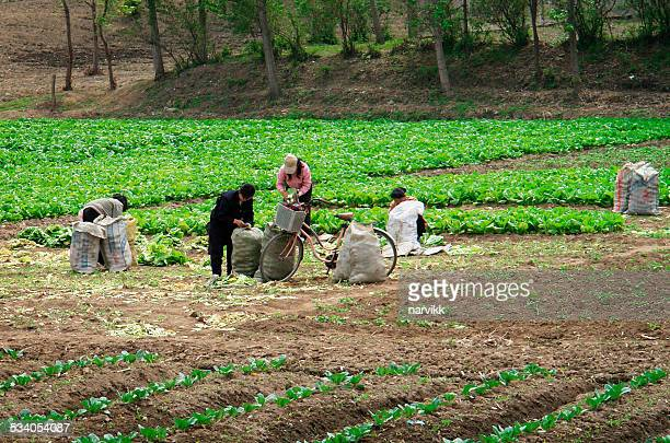 harvest of vegetables on the filed in north korea - north korea stock pictures, royalty-free photos & images