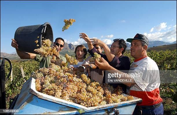 Harvest on the seized lands of mafioso Genovese in San Giuseppe Jato near Palermo in Italy in October 2002