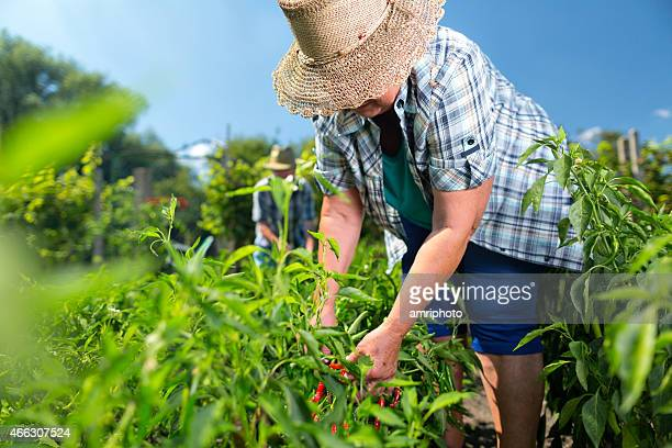 harvest organic farm summer