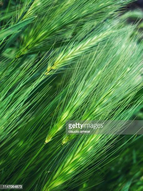 harvest - extreme close up stock pictures, royalty-free photos & images