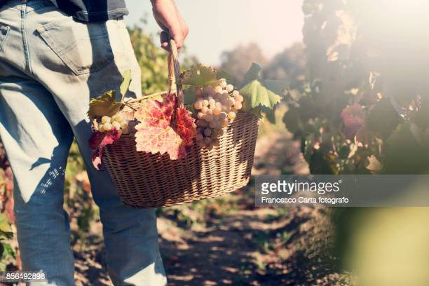 harvest - wine vineyard stock photos and pictures