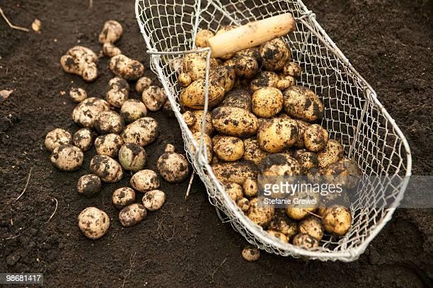harvest potatoes - stefanie grewel stock-fotos und bilder