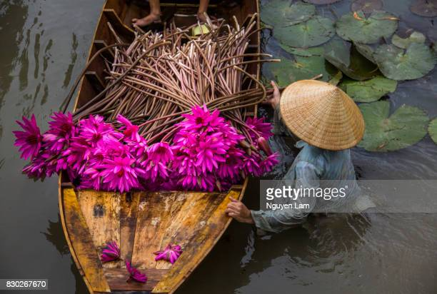 harvest season - mekong delta stock pictures, royalty-free photos & images