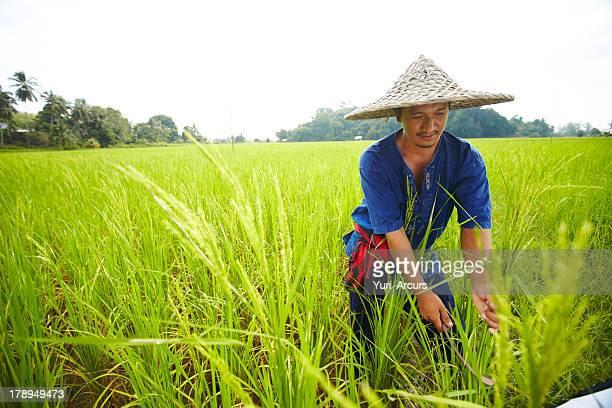 erntezeit - asian farmer stock-fotos und bilder