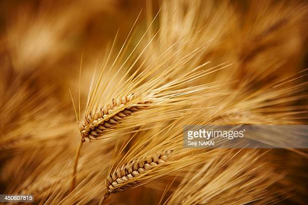 harvest time - wheat grain stock photos and pictures
