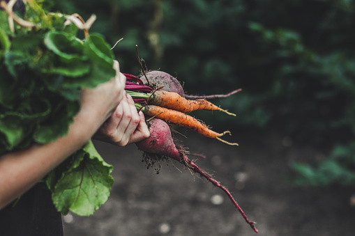 Harvest vegetables: a bunch of fresh vegetables in their hands (beets, carrots, beans, onions, garlic and others) 921115238