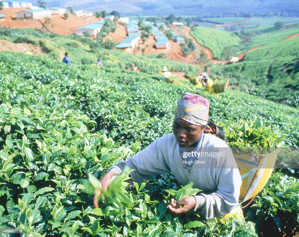 Harvest woman working on a tea plantation in South Africa : Stock Photo
