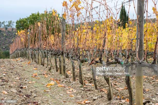 Harvested And Bare Tuscany Grapevine Rows At Ciacci Piccolomini Daragona