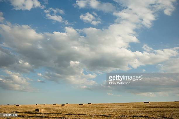Harvested bales of wheat in a field.