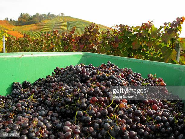 harvested blue grapes - baden württemberg stock photos and pictures