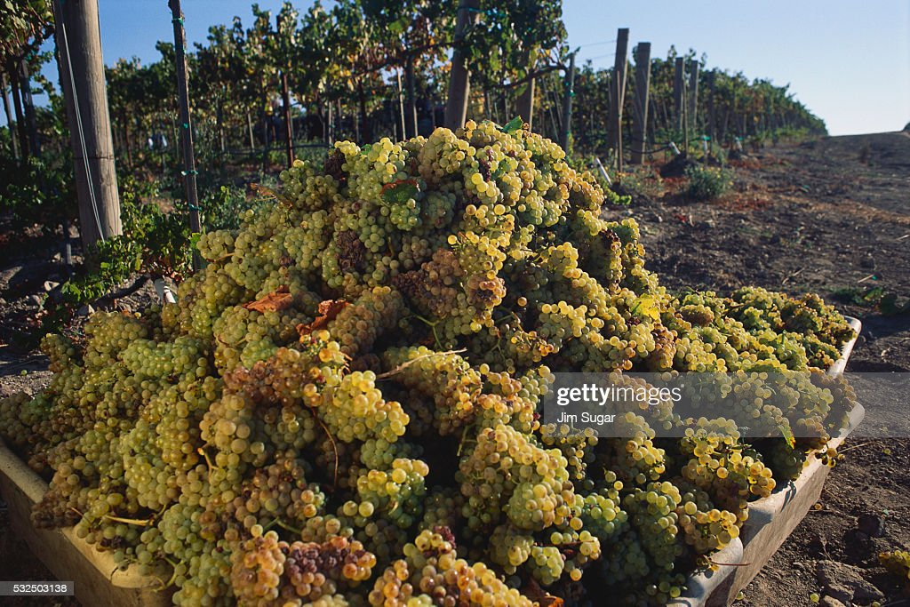 Harvested Chardonnay Grapes : Stock Photo