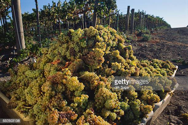 harvested chardonnay grapes - chardonnay grape stock photos and pictures