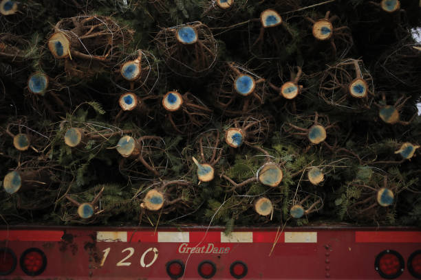 PA: Christmas Tree Harvest As Holiday Season Approaches