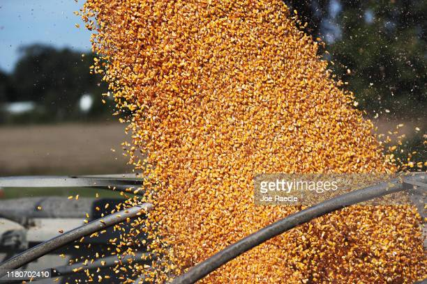 Harvested corn is seen after it was taken from a field at the Hansen Family Farms on October 12 2019 in Baxter Iowa The 2020 Iowa Democratic caucuses...