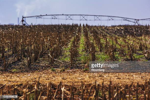 Harvested corn stalks stand in a field on the Ehlerskroon farm outside Delmas in the Mpumalanga province South Africa on Thursday Sept 13 2018 A...