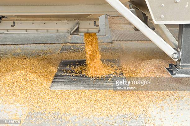 Harvested Corn Unloading from Semi into Elevator