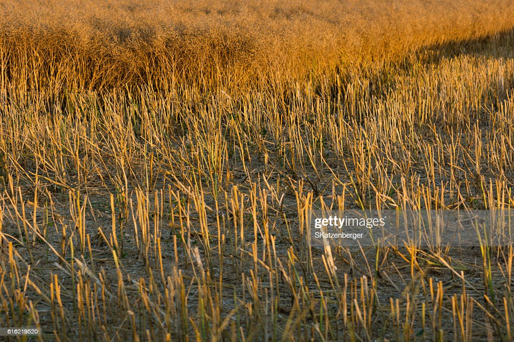 Harvested field : Stock Photo