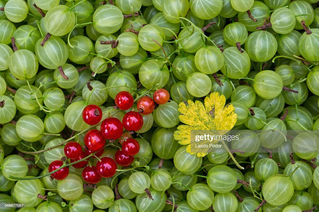 Harvested goosberries : Stock Photo