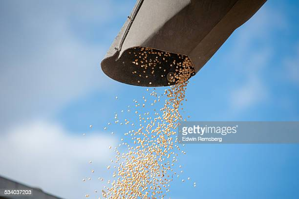 harvested grain - soybean harvest stock pictures, royalty-free photos & images