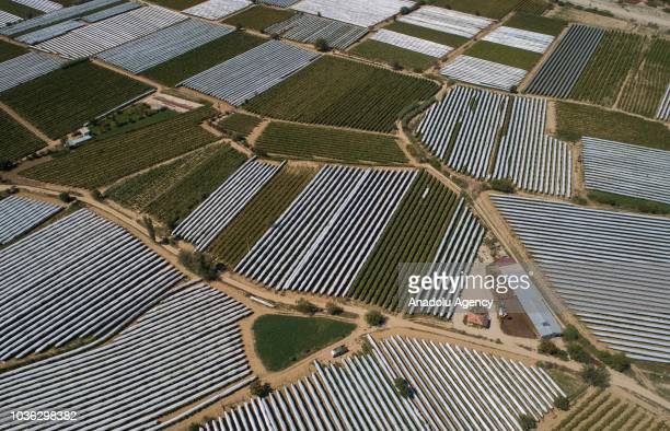Harvested grapes from vineyards are seen after laid out by farmers for sundrying onto a land at high hills of the Sarigol district of Manisa Turkey...