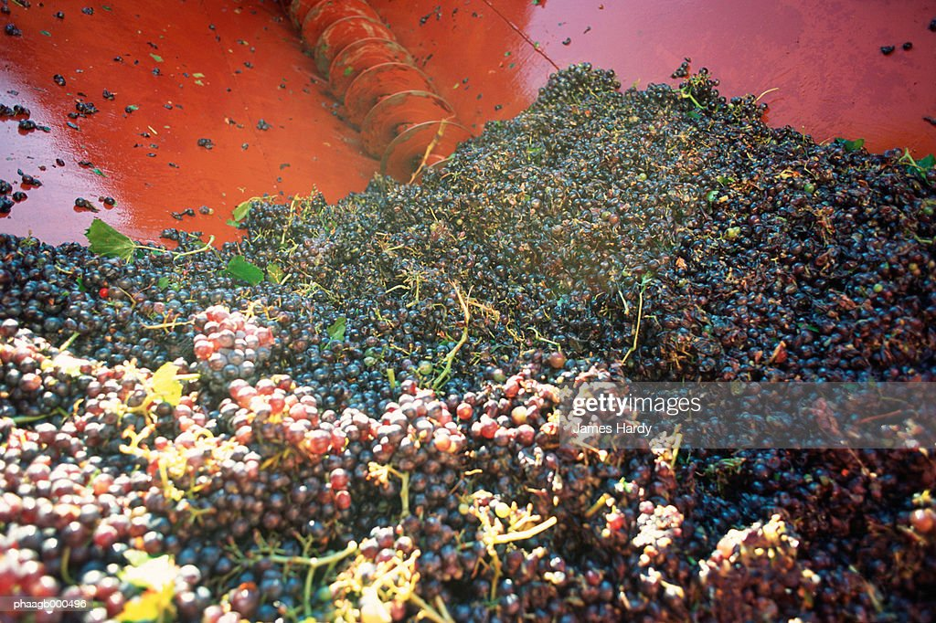 Harvested grapes : Stock Photo