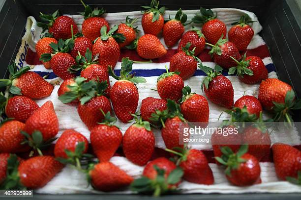 Harvested Himebijin strawberries sit in a tray at Okuda Farm in Hashima, Gifu Prefecture, Japan, on Tuesday, Jan. 14, 2013. The farm this month began...