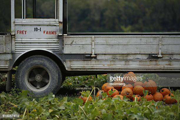 Harvested jacko'lantern pumpkins sit next to a converted school bus used for hauling before being processed at a Frey Farms Inc pumpkin patch in...