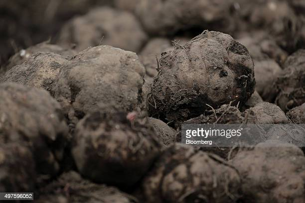 Harvested Konjac roots sit in a field in Showa Village Gunma Prefecture Japan on Tuesday Nov 17 2015 Konjac a yamlike plant is Japans mostprotected...