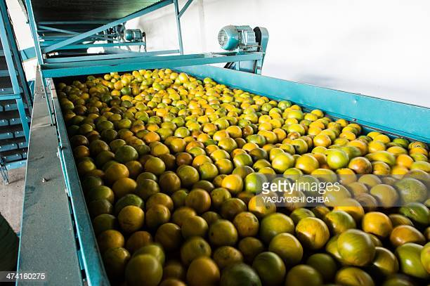 Harvested oranges are washed and waxed at a cooprative plant in Rio Real about 200 km north from Salvador in Bahia state Brazil on February 18 2014...